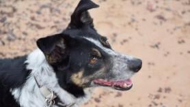 Un câine ciobănesc care a surzit a învățat limbajul semnelor și acum poate lucra din nou