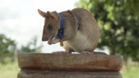 """Un """"șobolan erou"""" a primit o medalie de aur în miniatură pentru curaj"""