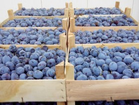 Peste 10 tone de prune din Moldova nu au putut să intre în Rusia. Fructele au fost distruse